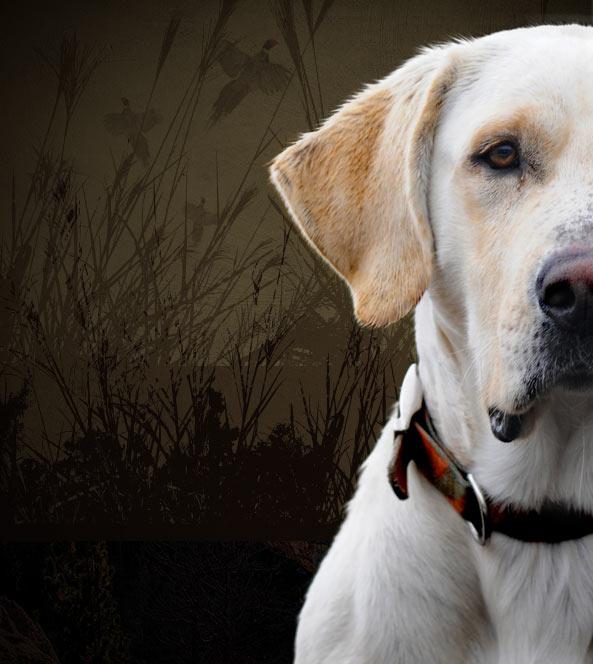 Hunting dog closeup