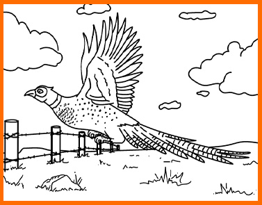 Pheasant | Lawrence & Schiller Coloring Pages